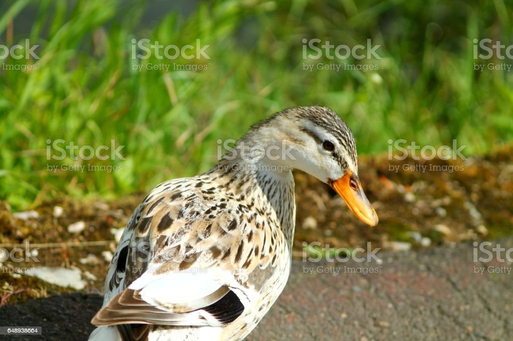 White duck portrait. stock photo