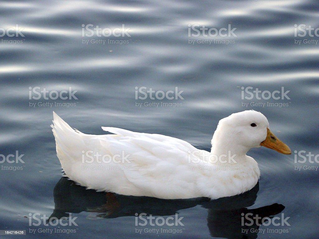 White Duck Swimming in Dark Blue Pond stock photo