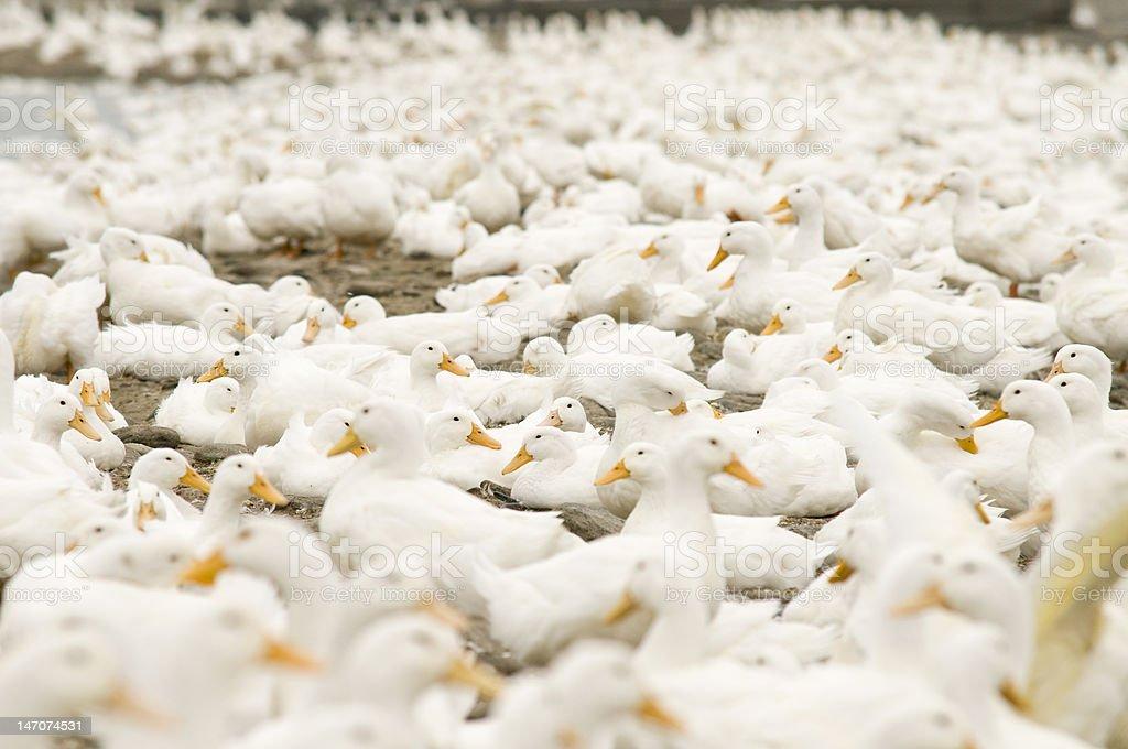 White Ducks stock photo