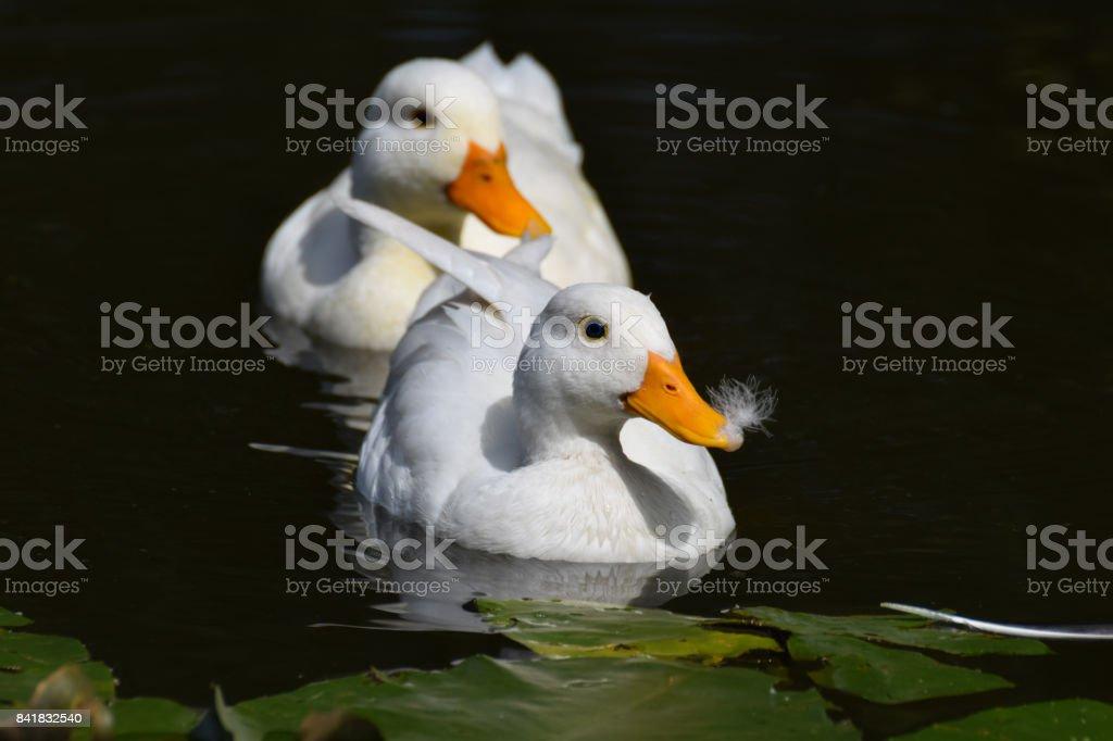 White ducks swimming stock photo