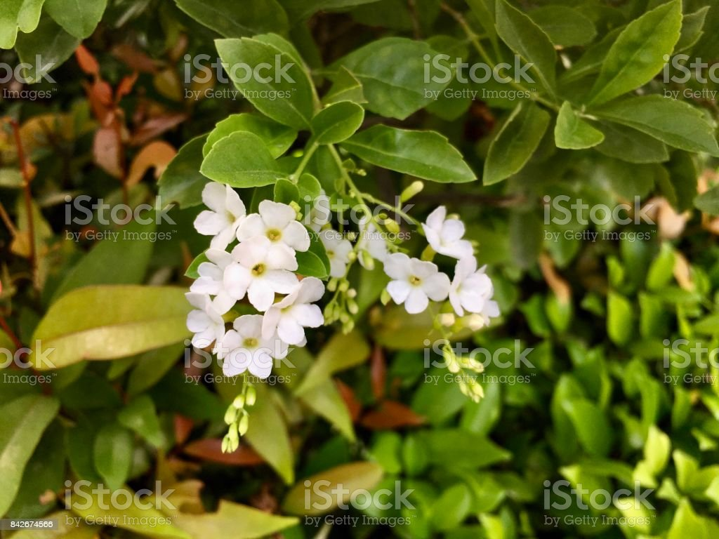 White Duranta Repens or Golden Dew Drop Flowers stock photo