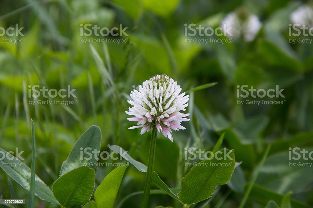 White Dutch clover Trifolium repens. stock photo