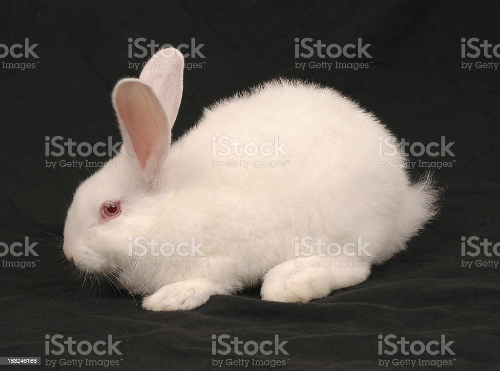 White Easter Bunny 4 stock photo
