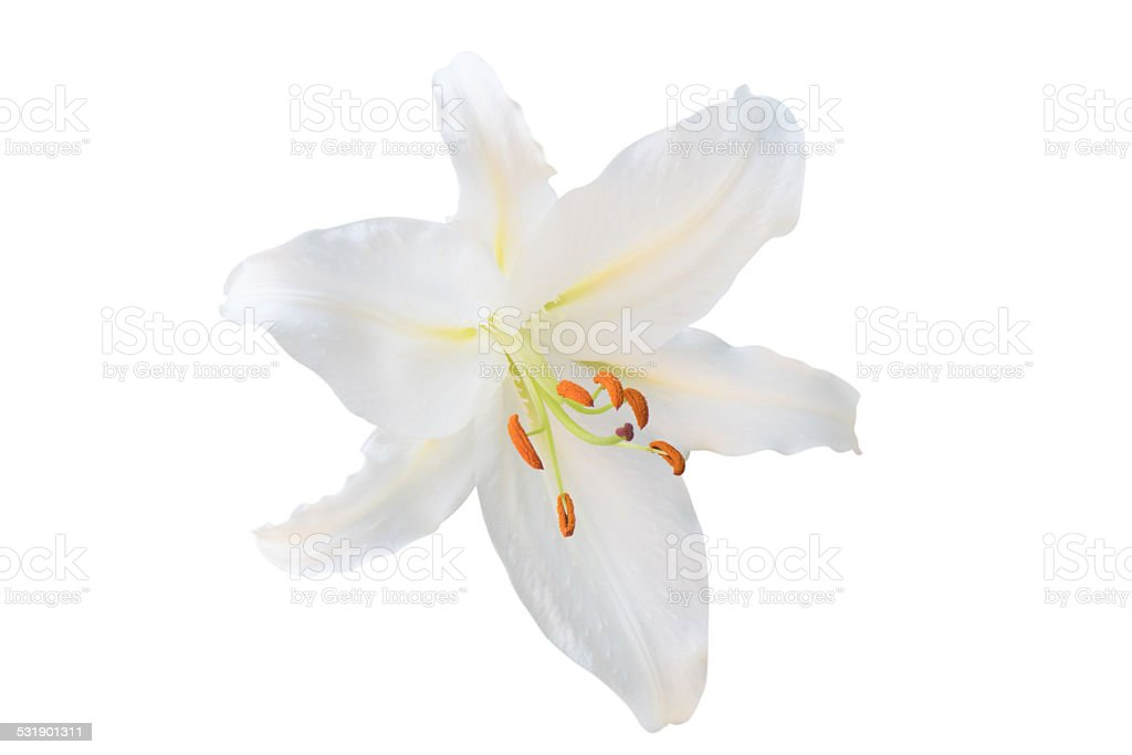 White Easter Lilies isolated stock photo
