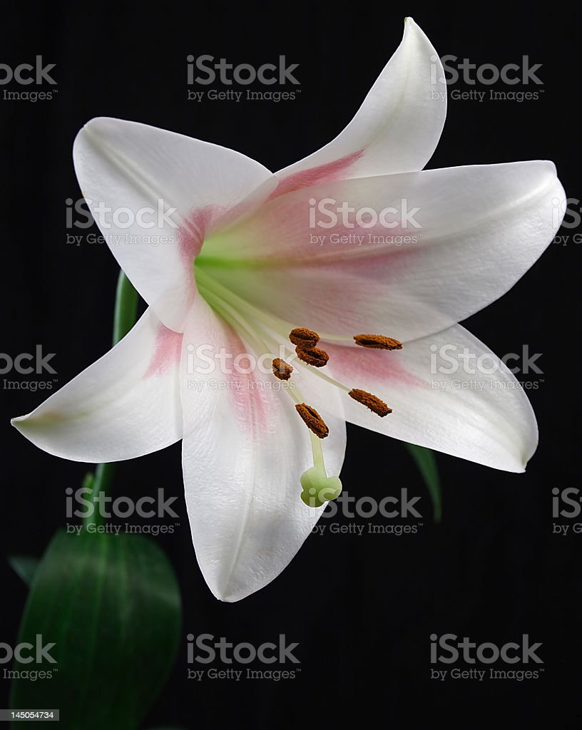 White Easter Lily on Black royalty-free stock photo