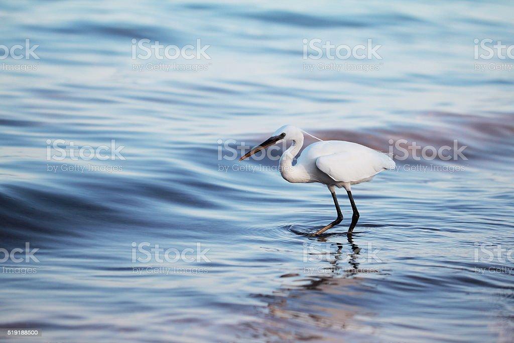 White egret a the sea shore stock photo