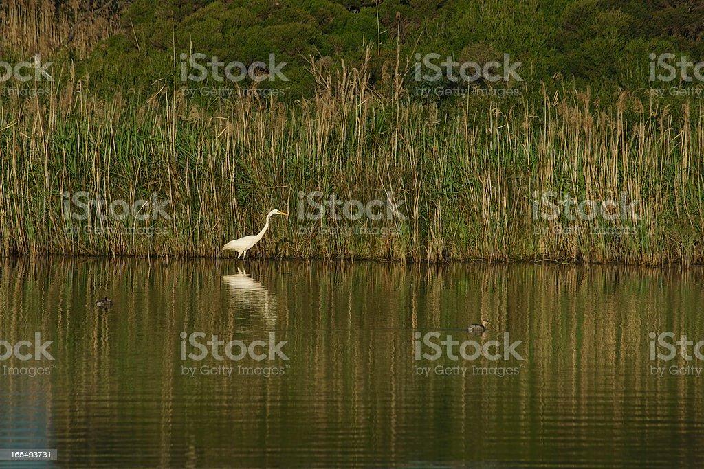 White egret and shadow stock photo