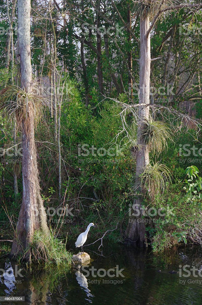 White Egret Fishing stock photo