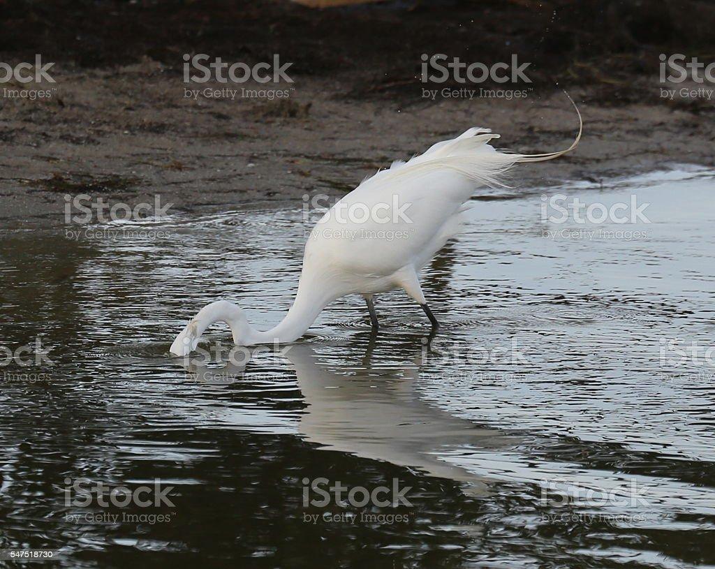 White egret fishing stock photo