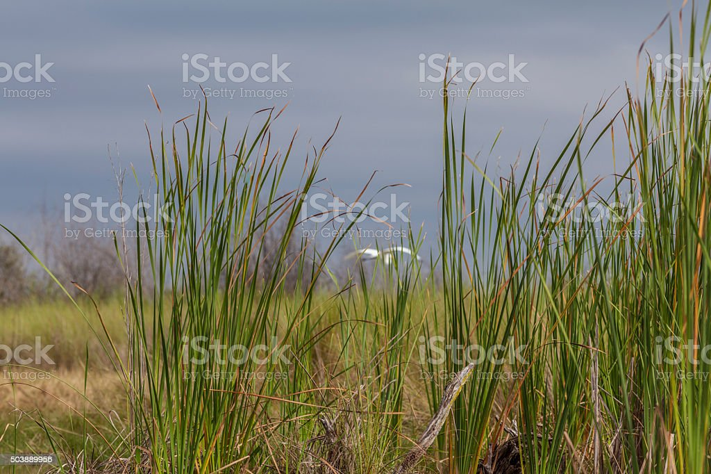 White Egret Flies Off in the Florida Everglades stock photo