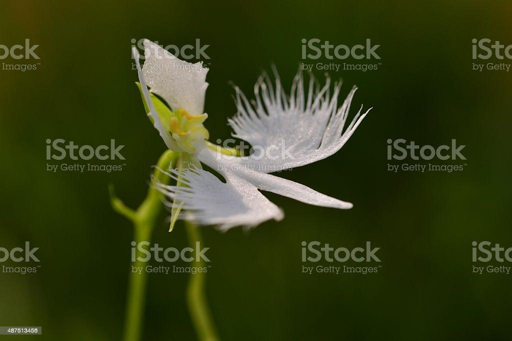 White Egret Flower stock photo