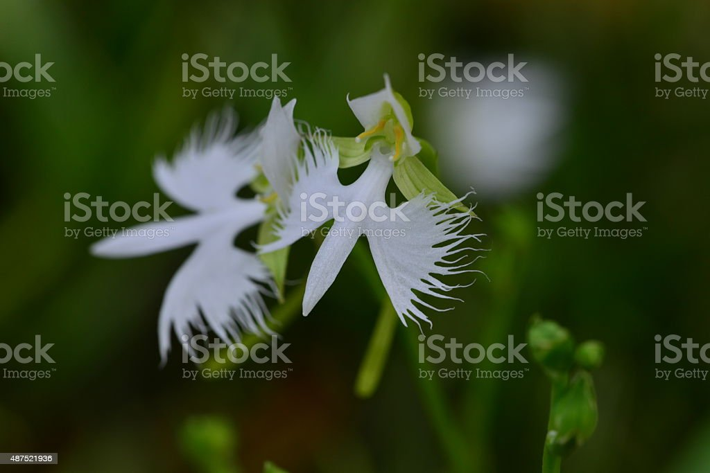 White Egret Flower stock photo