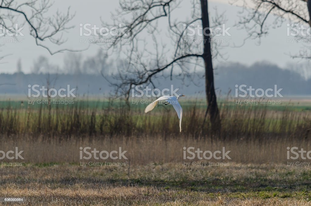 white egret flying stock photo