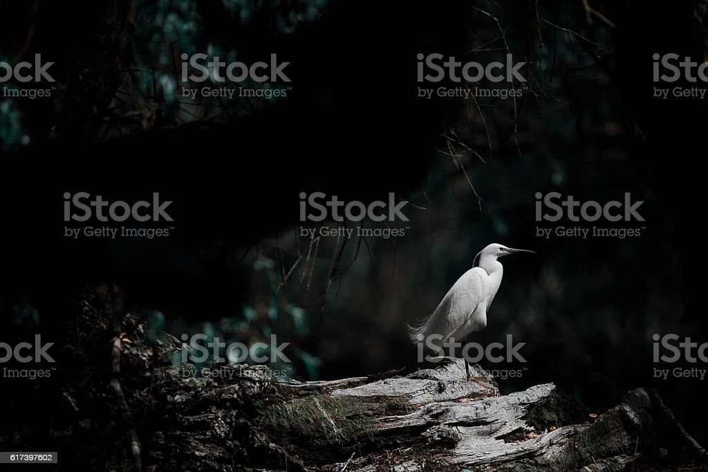 white egret in nature stock photo