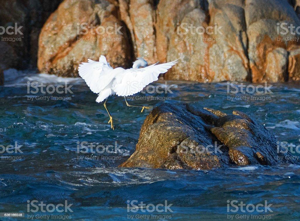 White Egret landing on Pelikan rocks at Cabo San Lucas stock photo