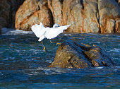 White Egret landing on Pelikan rocks at Cabo San Lucas