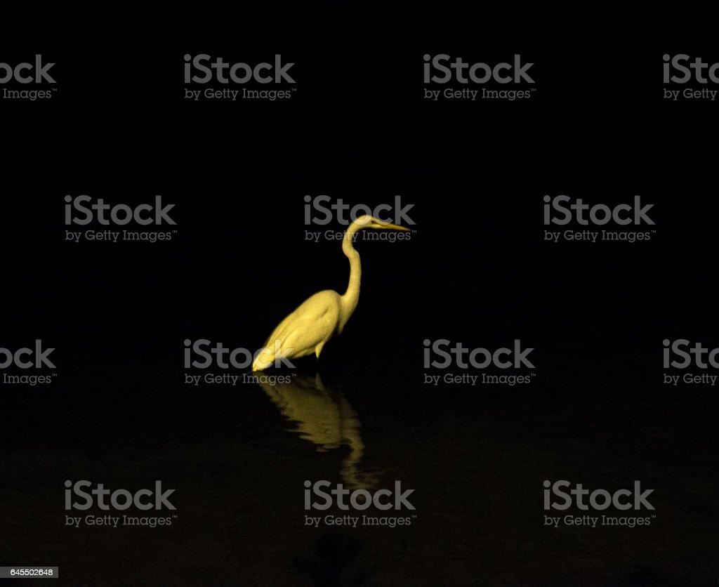 White Egret Night stock photo