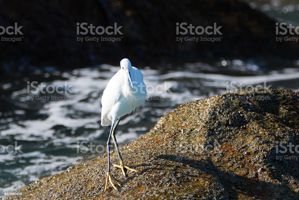 White Egret on Lands End at Cabo - Baja Mexico stock photo