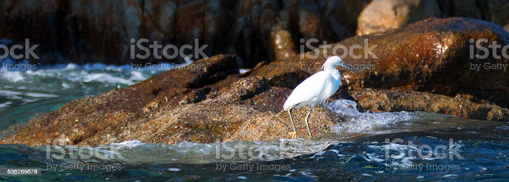 White Egret on Lands End at Cabo San Lucas MEX stock photo