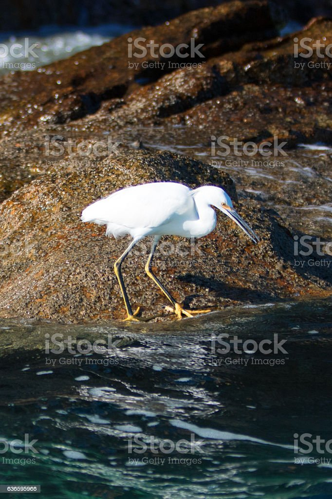White Egret on Lands End at Cabo San Lucas stock photo