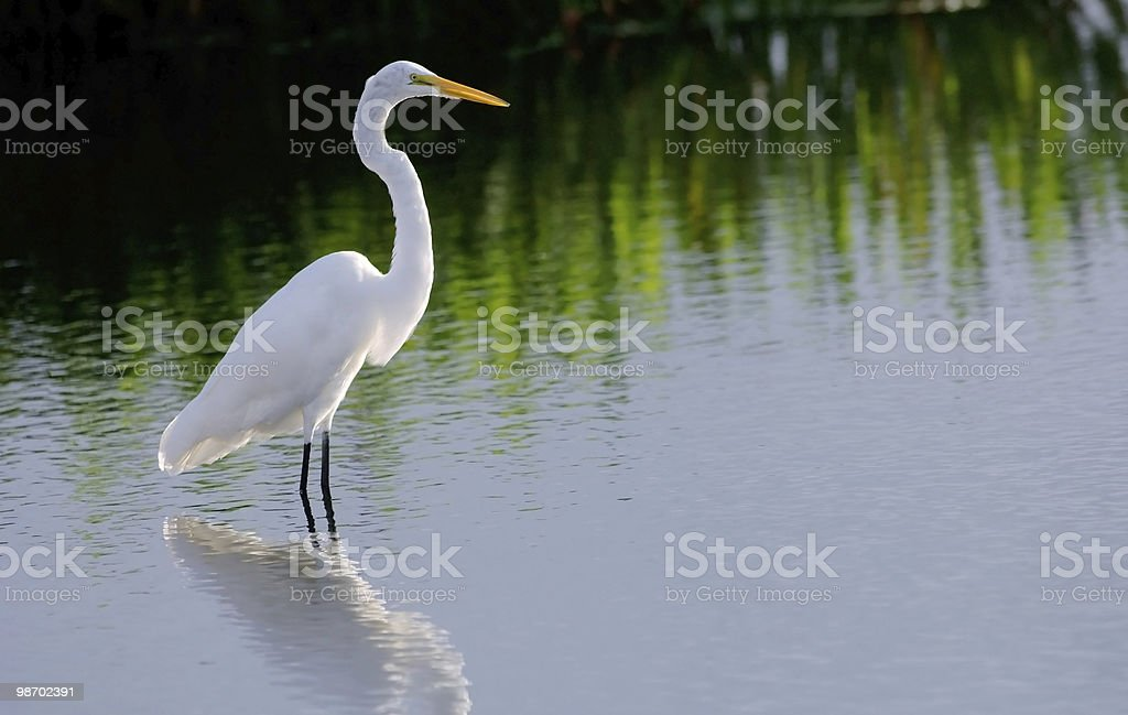 White egret standing on the waters of a wetland stock photo