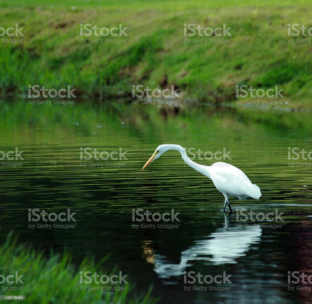White egret wades wetland pond in Arizona royalty-free stock photo