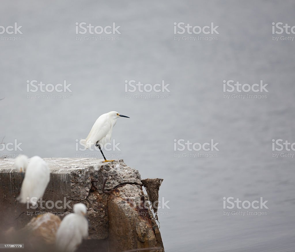 White Egrets Posing On The Rocks royalty-free stock photo