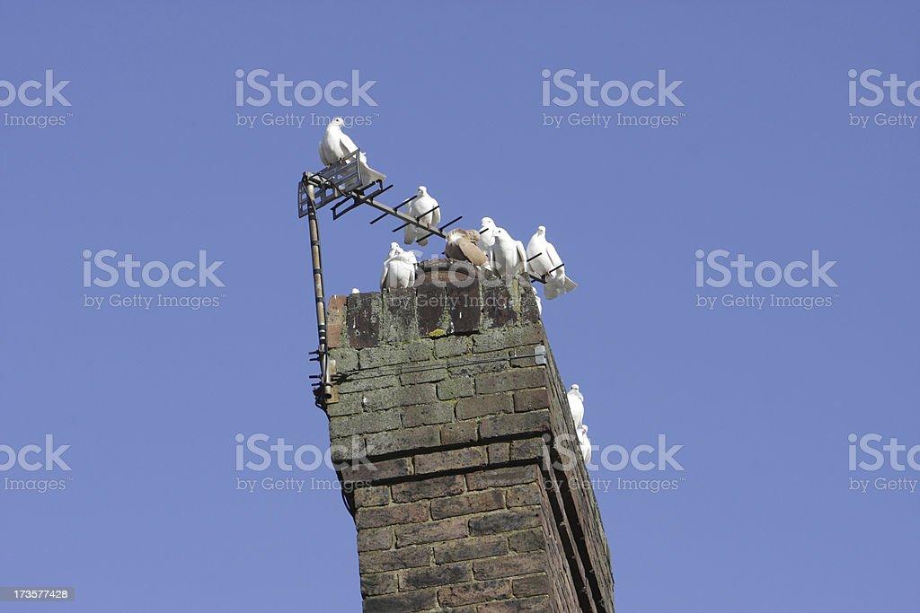 White English fantail pigeons crowd onto one chimney pot stock photo