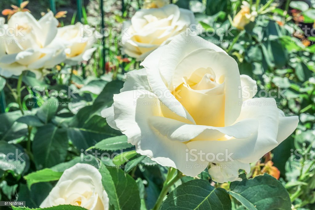 White English rose in the old garden stock photo