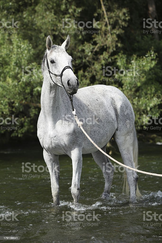 White English Thoroughbred horse in river royalty-free stock photo