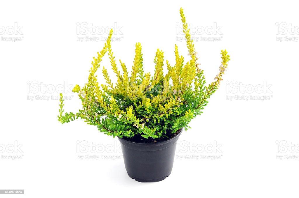 white erica heather (Calluna vulgaris) in flower pot stock photo