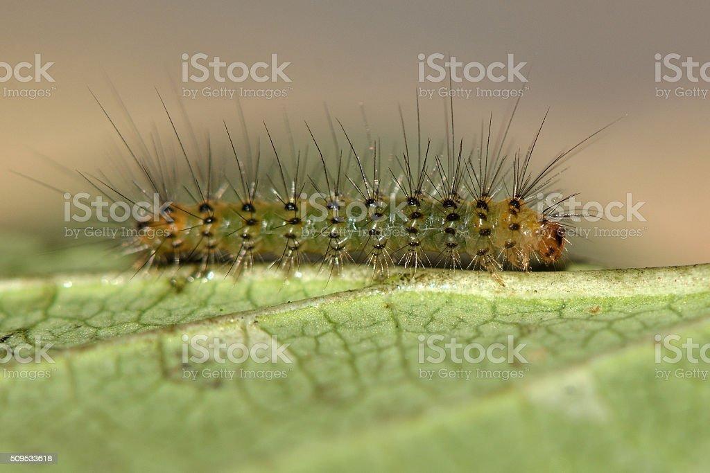 White ermine (Spilosoma lubricipeda) early instar caterpillar stock photo