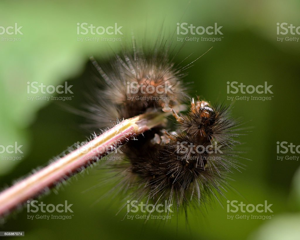 White ermine moth (Spilosoma lubricipeda) mature caterpillar ready to pupate stock photo