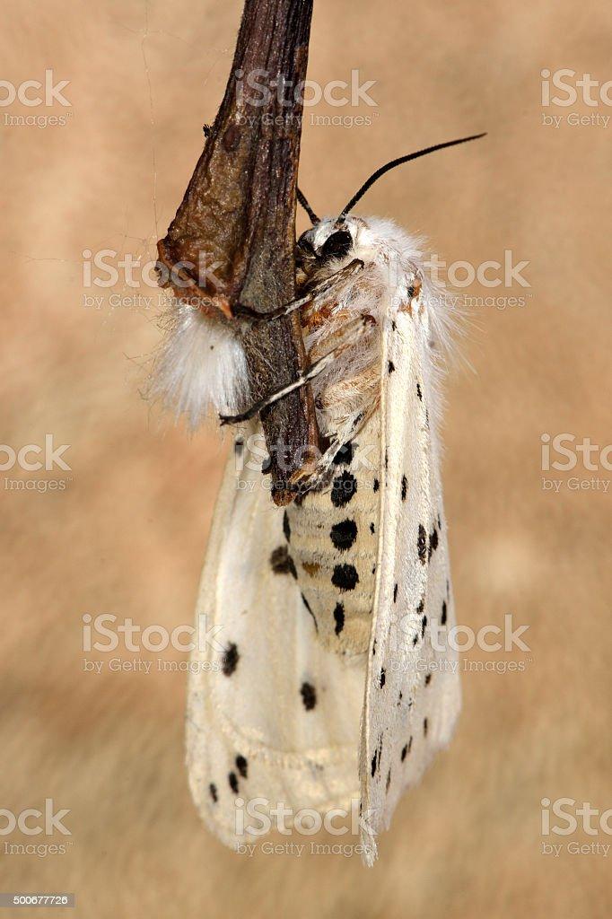 White ermine moth (Spilosoma lubricipeda) stock photo