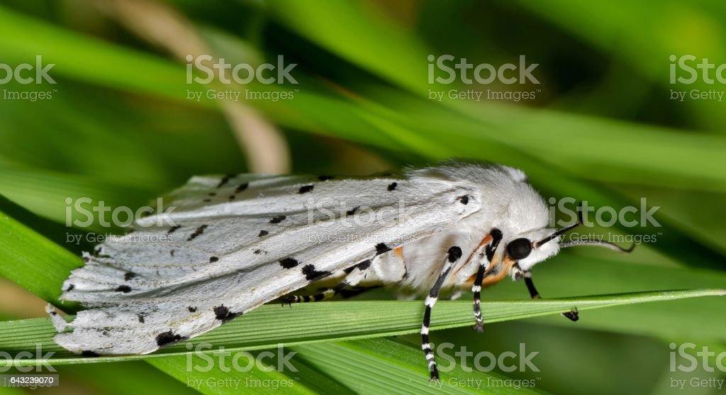 White Ermine Moth stock photo