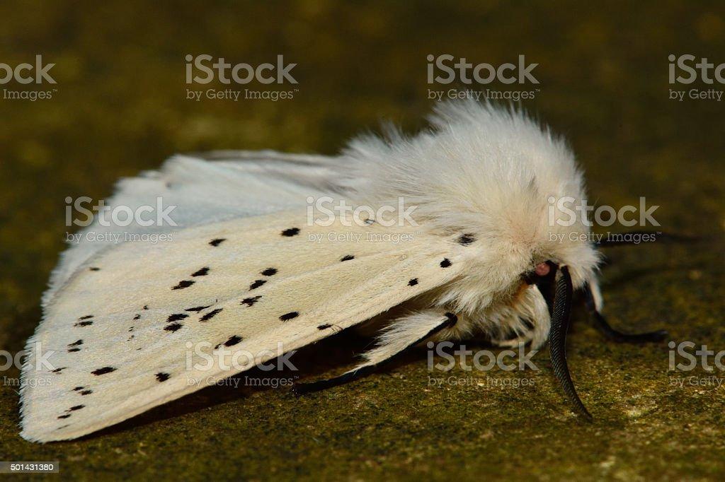 White ermine (Spilosoma lubricipeda) stock photo