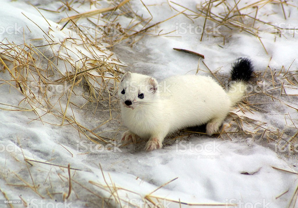 White ermine with black tip on its tail standing in the snow stock photo