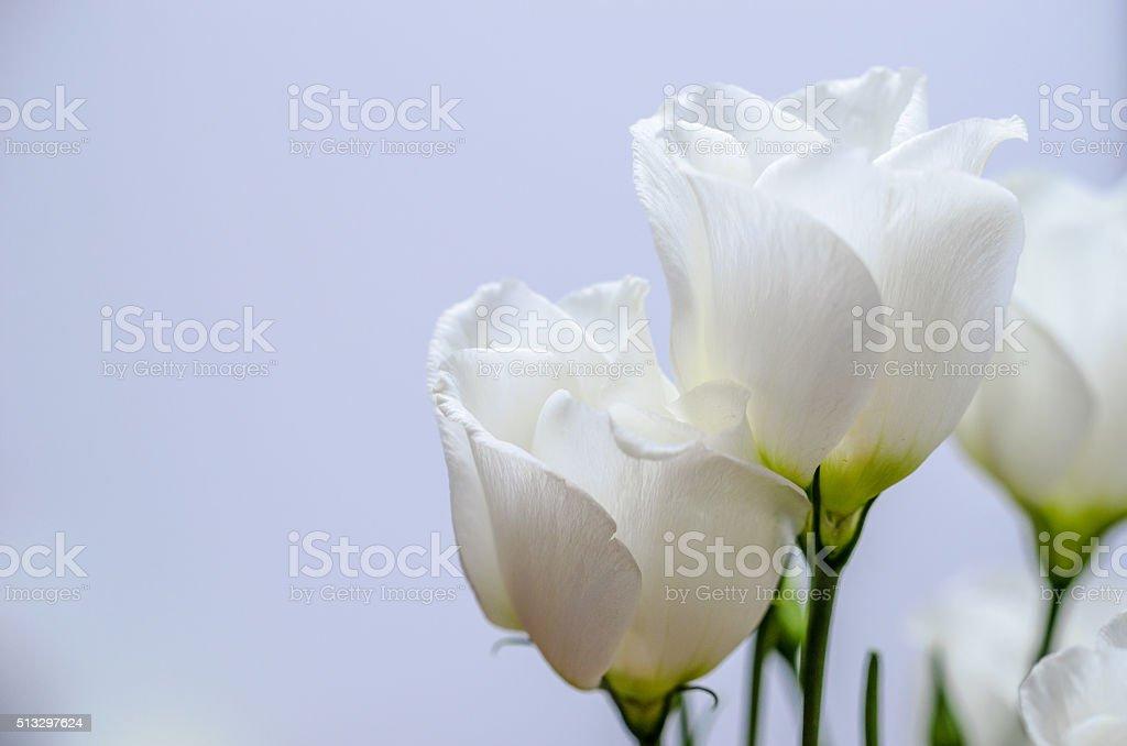 White eustoma flowers bouquet. Indoor blue background. stock photo