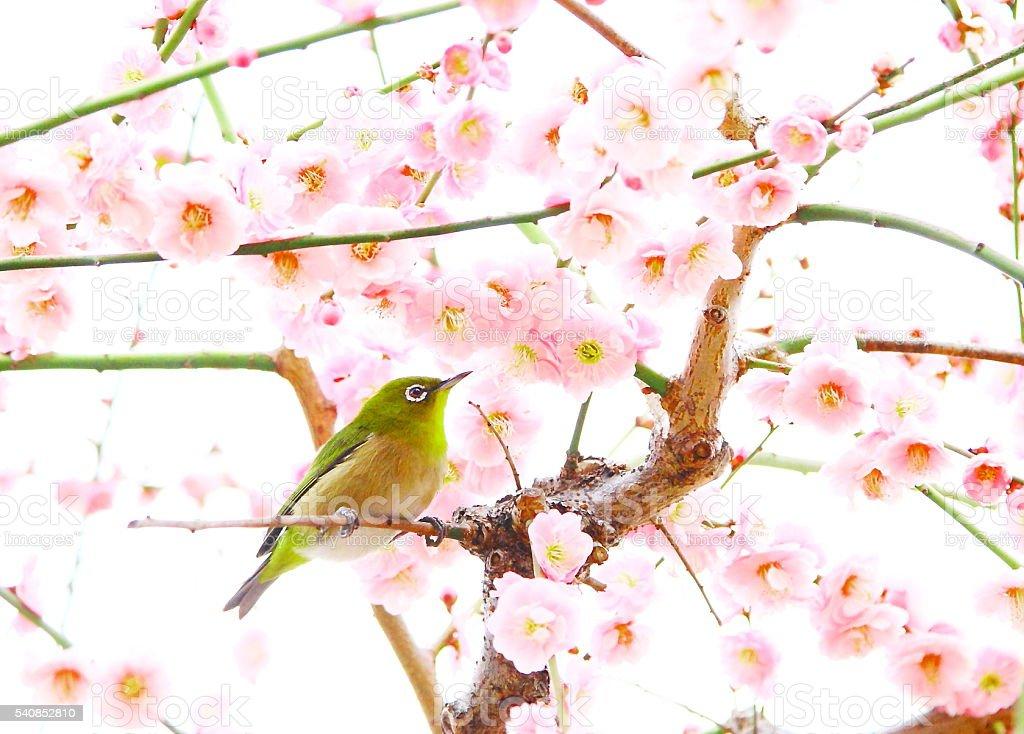 white eye on plum tree stock photo