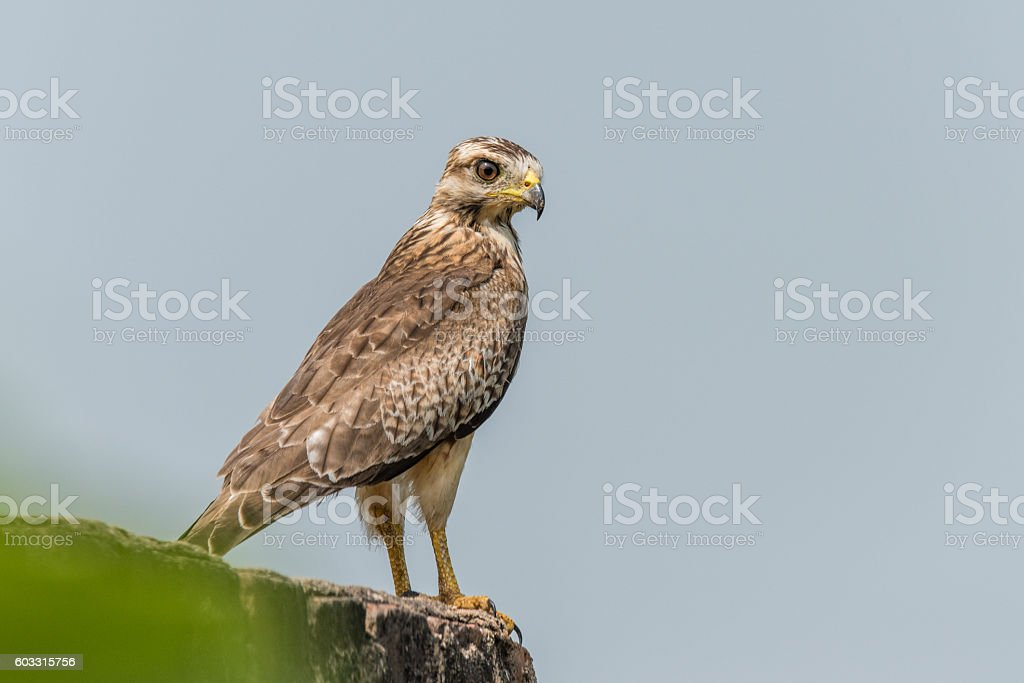 White Eyed Buzzard stock photo