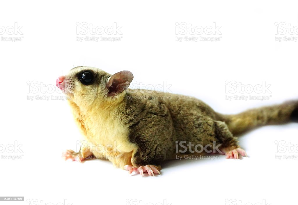 White face Sugar glider isolated on white stock photo