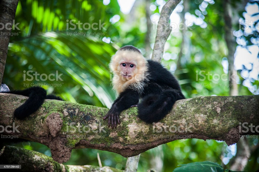 White faced baby capuchin in Costa Rica stock photo