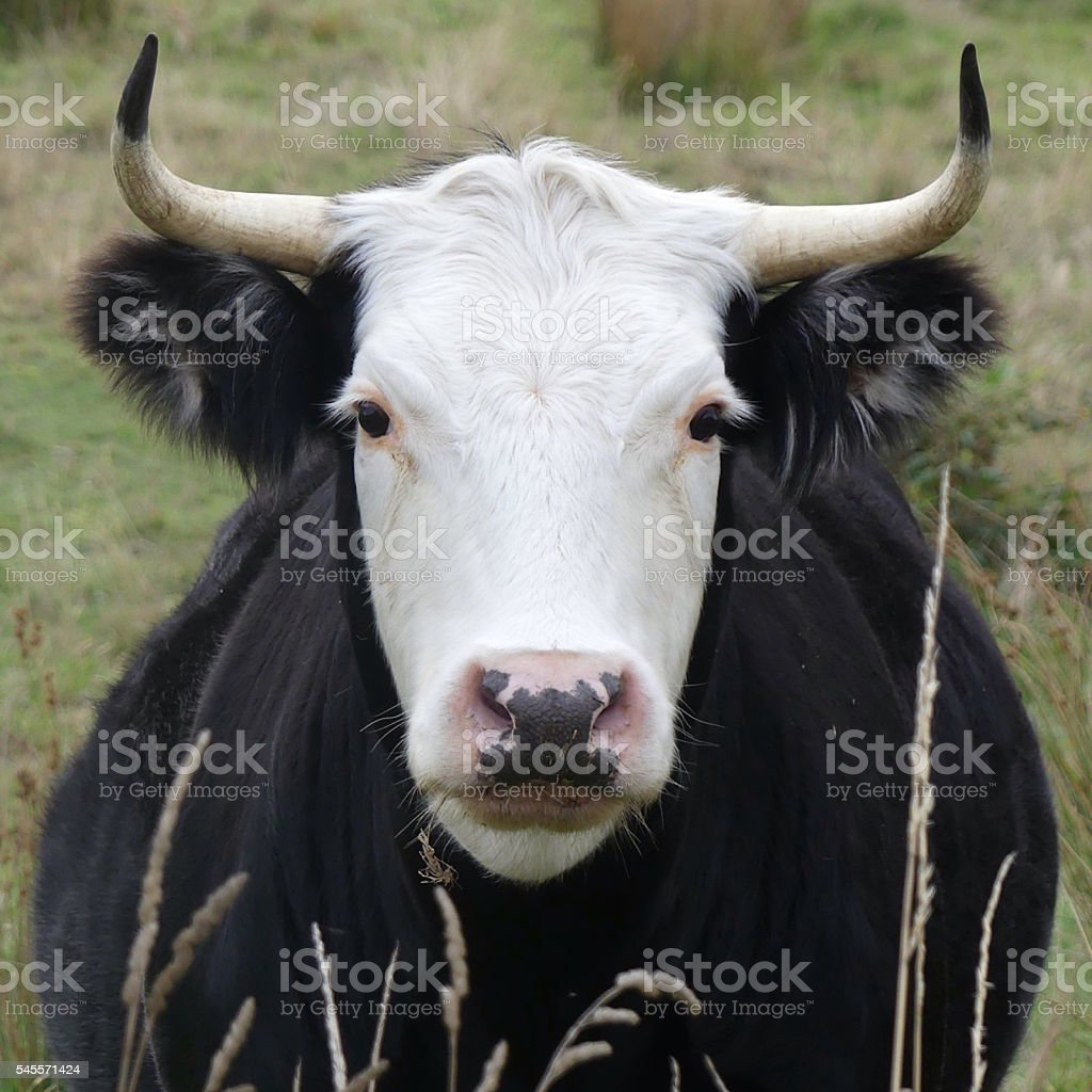 white faced bull with black tipped horns stock photo