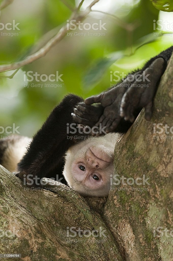 White faced Capuchin Monkey stock photo