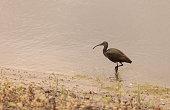 White faced ibis, Plegadis chihi