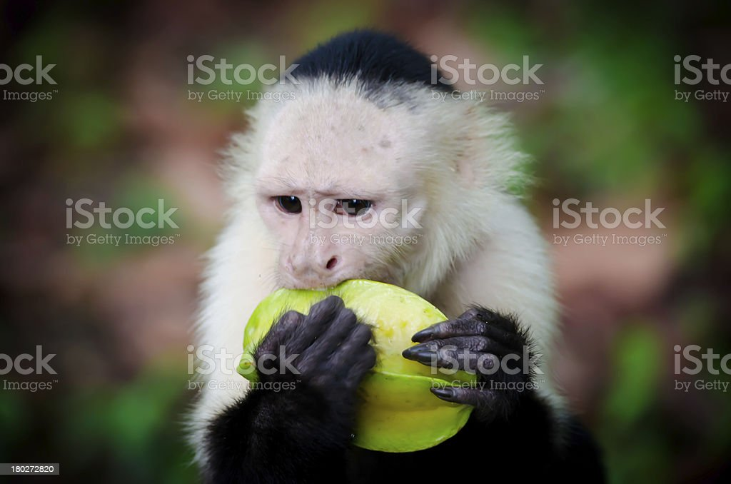 White Faced Monkey Eating Star Fruit stock photo
