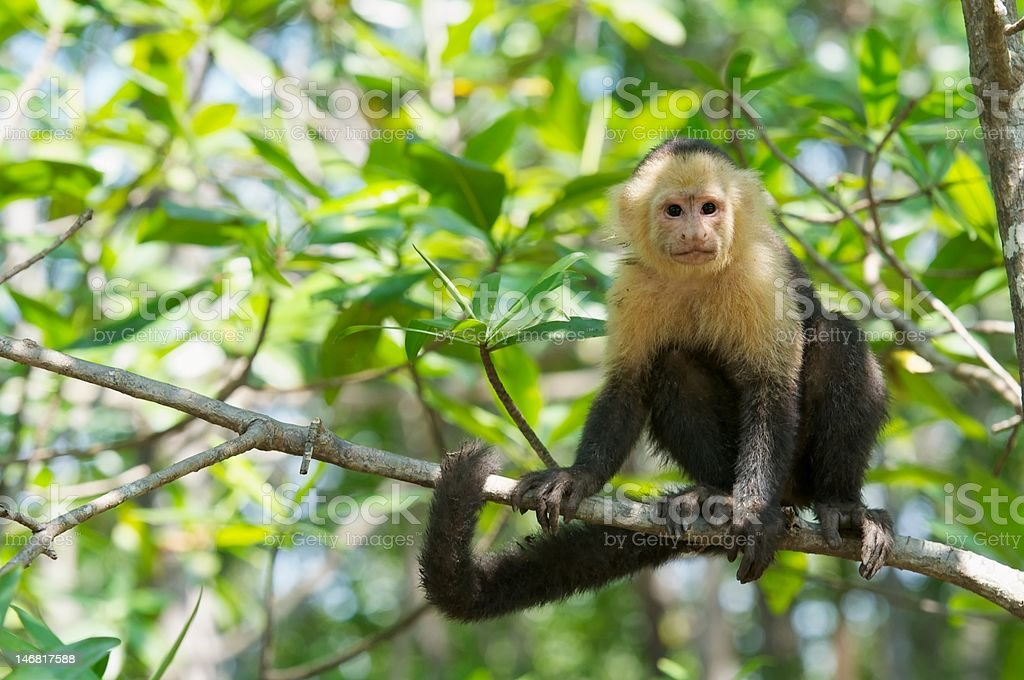 White faced Monkey stock photo