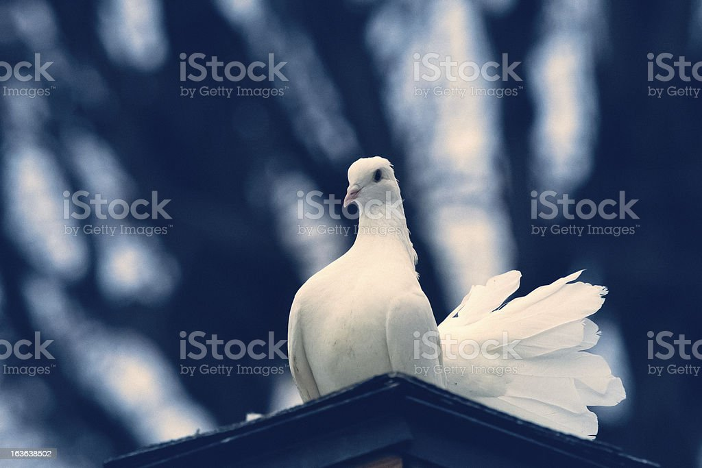 White Fantail Dove Closeup & Looking at Camera stock photo