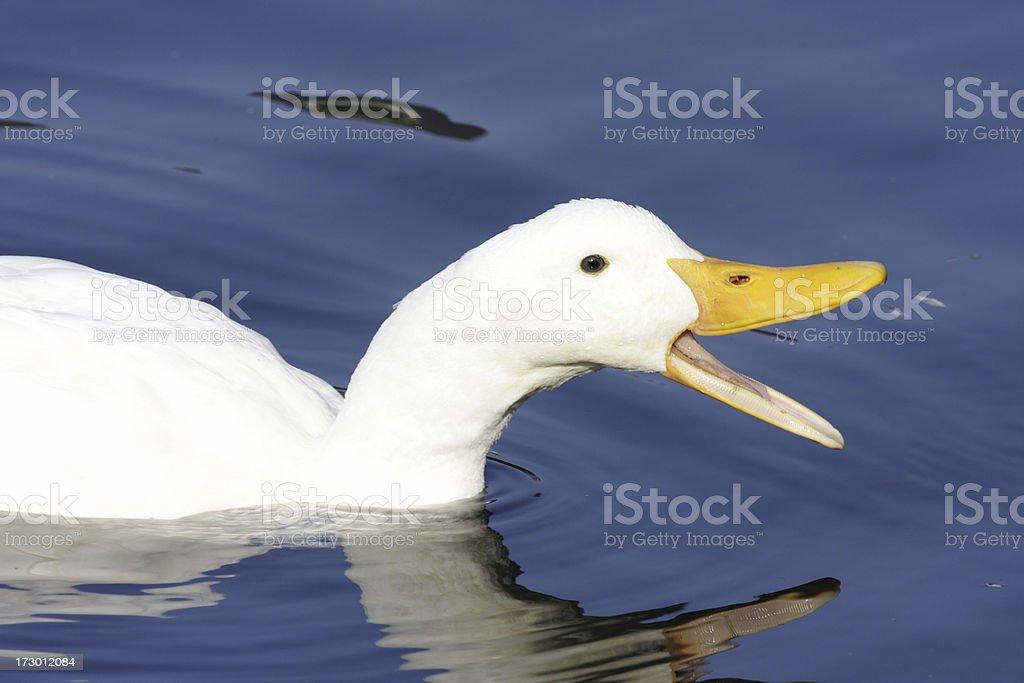 White farmyard duck swimming quacking calling open beak royalty-free stock photo