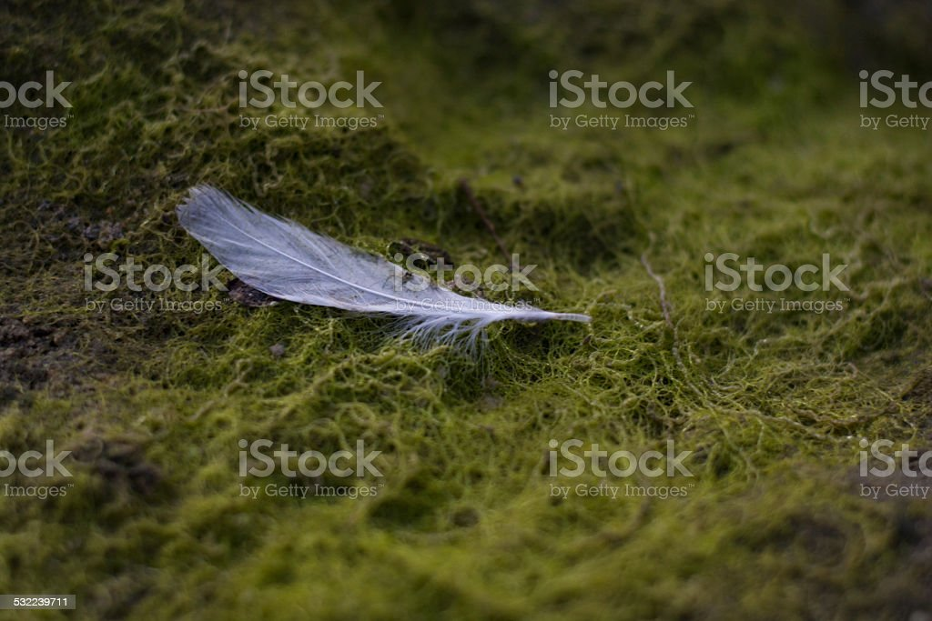 White feather in algae bed stock photo